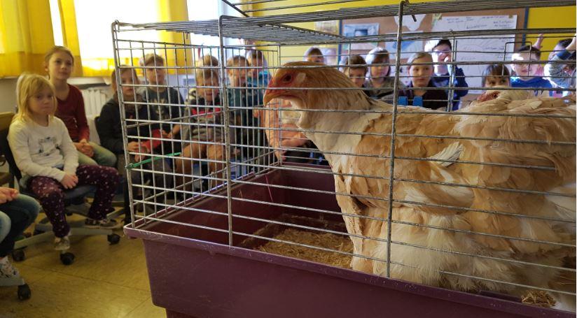Hühnerbesuch in der Schule